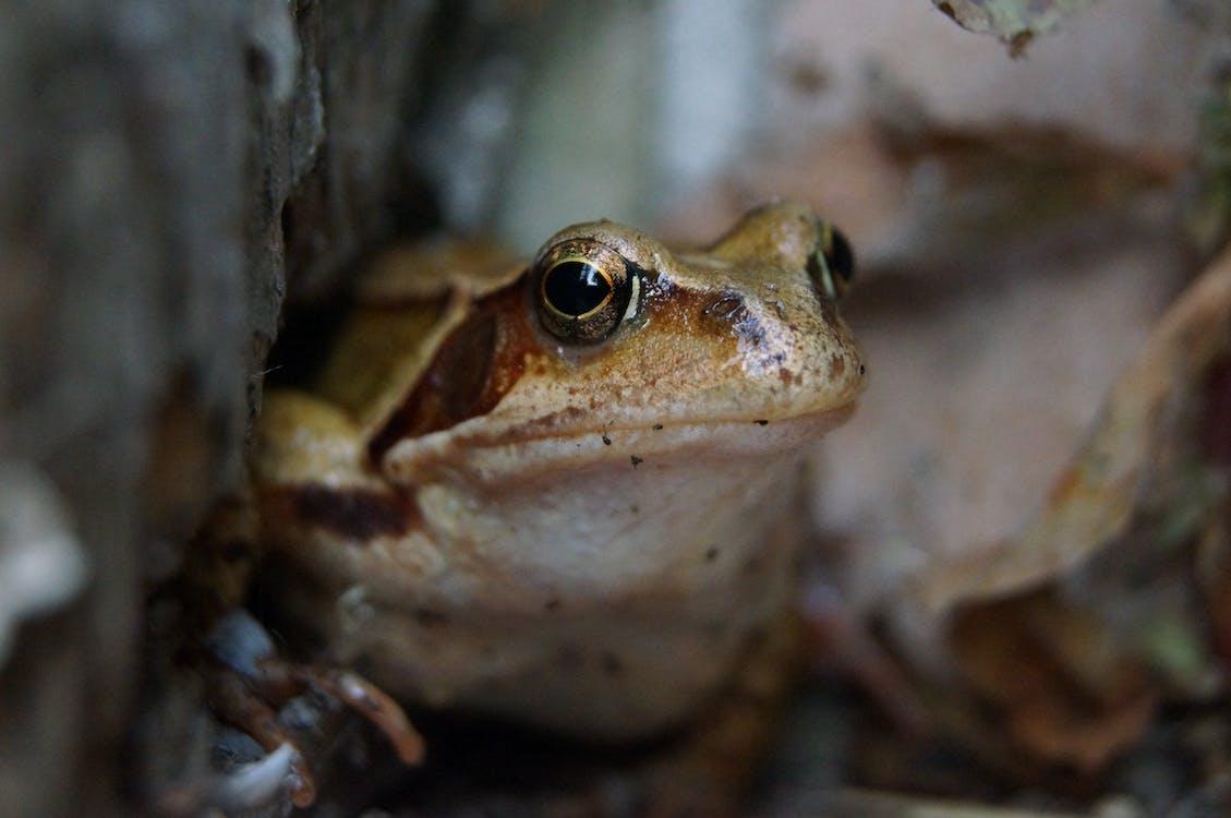Free stock photo of anima, frog