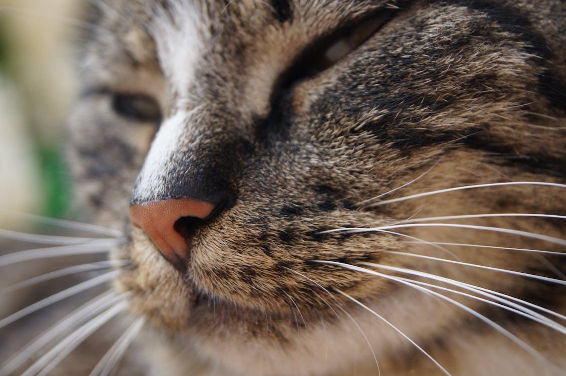 Free stock photo of cat, cat face, close