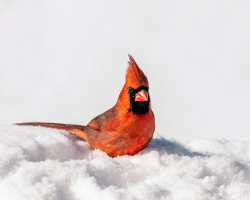 Bright red common cardinal bird standing on frozen valley covered with thick layer of snow on winter day