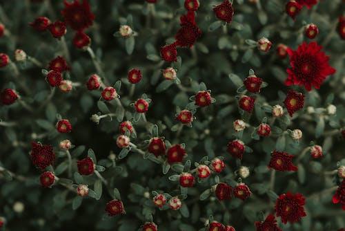 Delicate red chrysanthemum flowers growing in garden