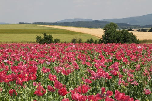 Imagine de stoc gratuită din câmp, flori, luncă, mac