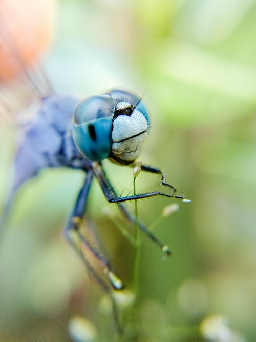 Dragonfly with thin legs and bright shiny eyes searching for bugs and flying in soft focus