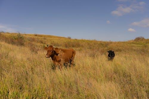 Cows in grassy meadow under blue sky