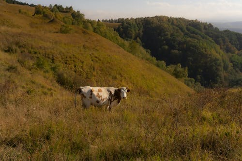 Side view of domestic cow standing in grassy field near hills with green vegetate