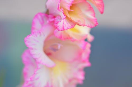 꽃, 꽃이 피는, 꽃잎, 분홍색의 무료 스톡 사진