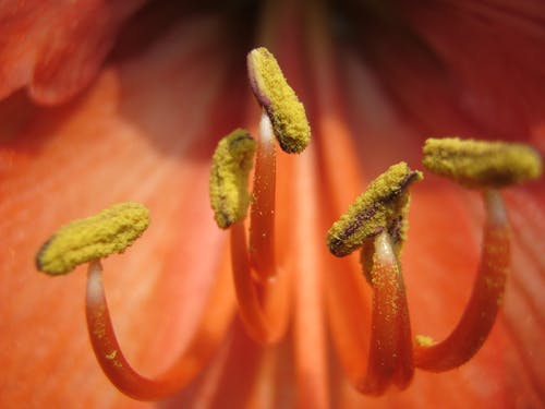 Free stock photo of close up of anthers
