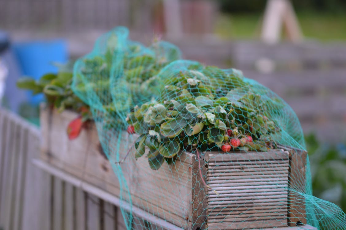 Free stock photo of allotment, giy, strawberries