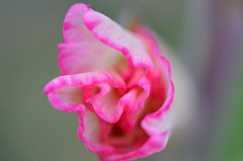 Immagine gratuita di bellissimo, bocciolo, colori, crescita