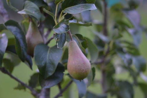 Free stock photo of pear tree, pears