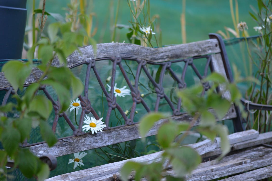 Free stock photo of bench, daisies, garden