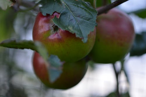 Free stock photo of allotment, apple tree, apples, giy