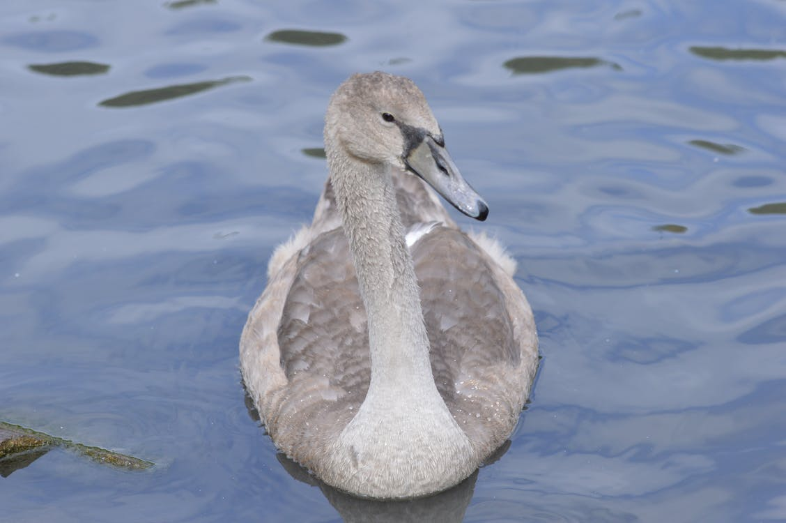 Free stock photo of cygnet, swan, wildlife