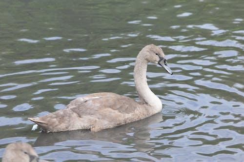 Free stock photo of cygnet, swan