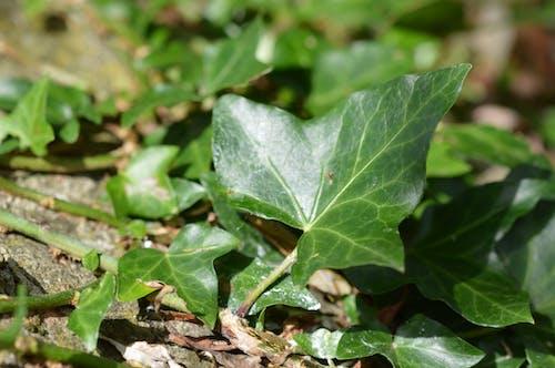 Free stock photo of ivy