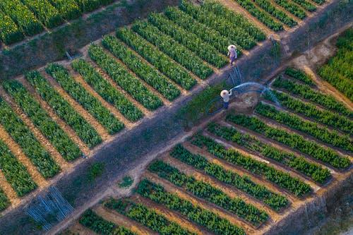 Droen Shot of Watering of Vineyard