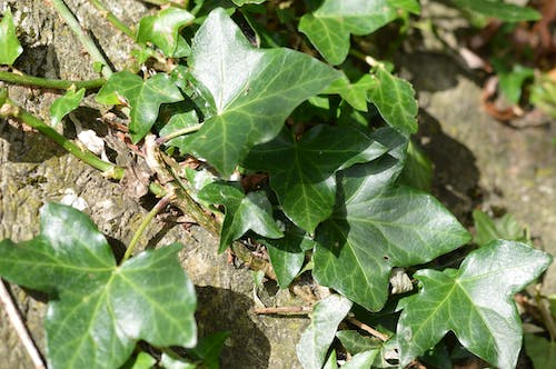 Free stock photo of ivy, nature