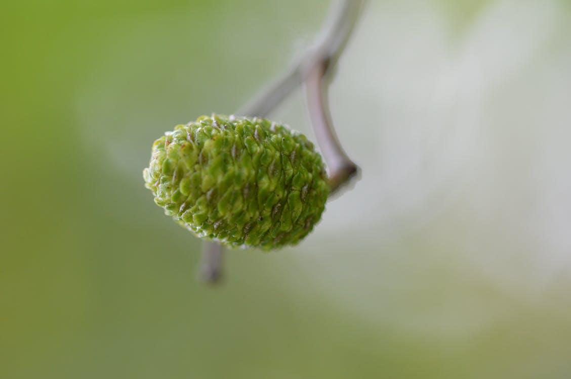 Free stock photo of acorn, macro photography