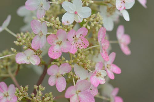 Free stock photo of macro photography, pink and white flowers, white