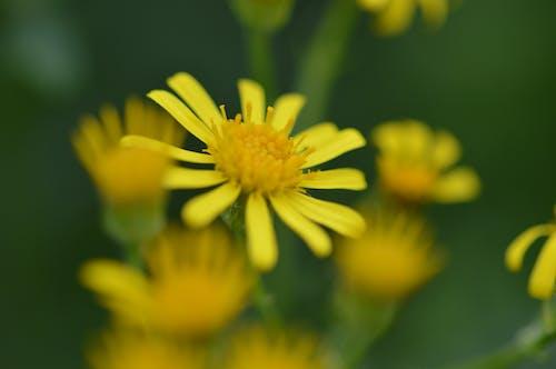 Free stock photo of macro photography, yellow flowers