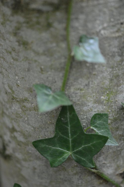 Free stock photo of ivy, macro photography