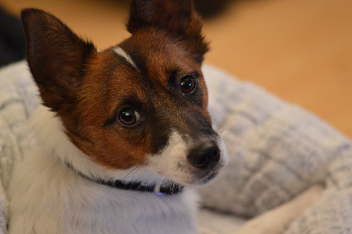 Free stock photo of dog, jack russell, portrait
