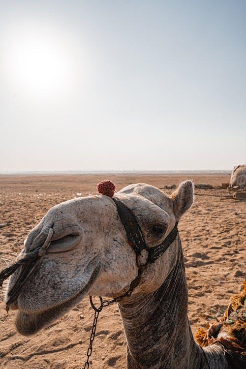 Brown Camel on Brown Sand
