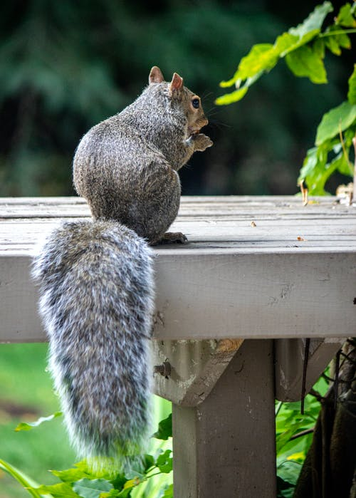 Gray Squirrel on White Wooden Fence