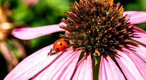 Free stock photo of flower, insect, ladybug