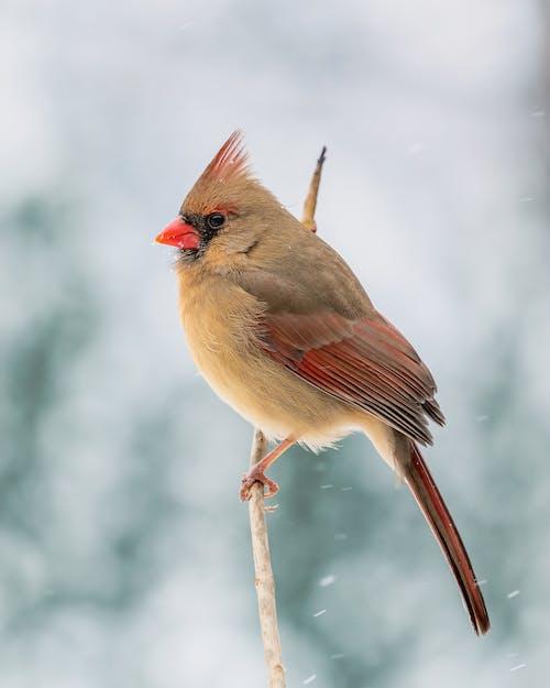Full body cute fluffy cardinal bird sitting on thin twig in snowy winter countryside
