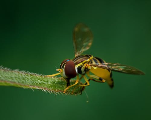 Closeup hoverfly sitting on green fluffy plant leaf and drinking nectar against blurred nature background