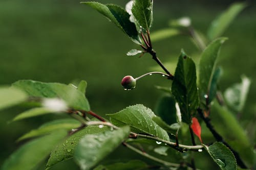 Red Round Fruit on Green Leaf Plant