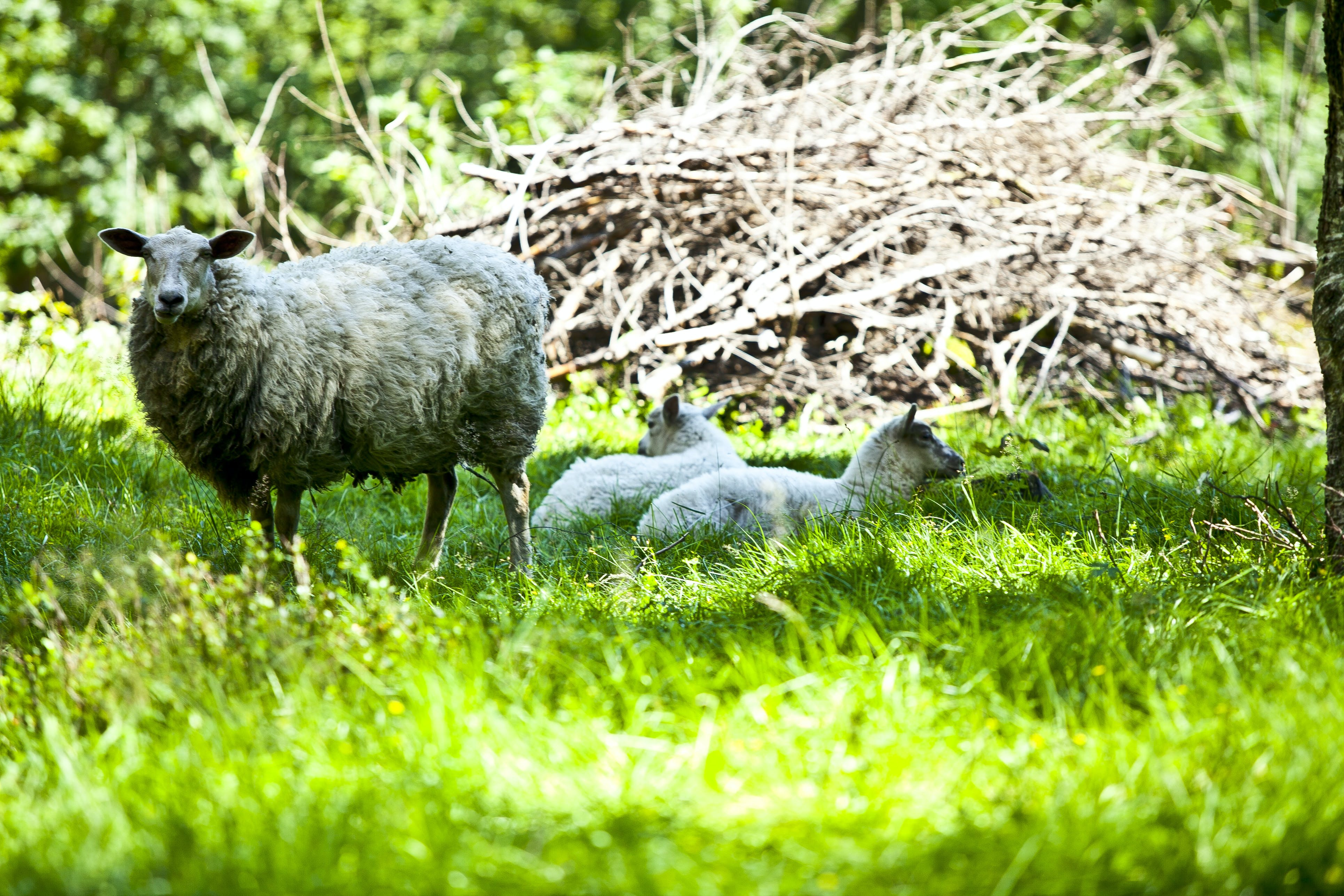 Free stock photo of forest, grass, green, sheep