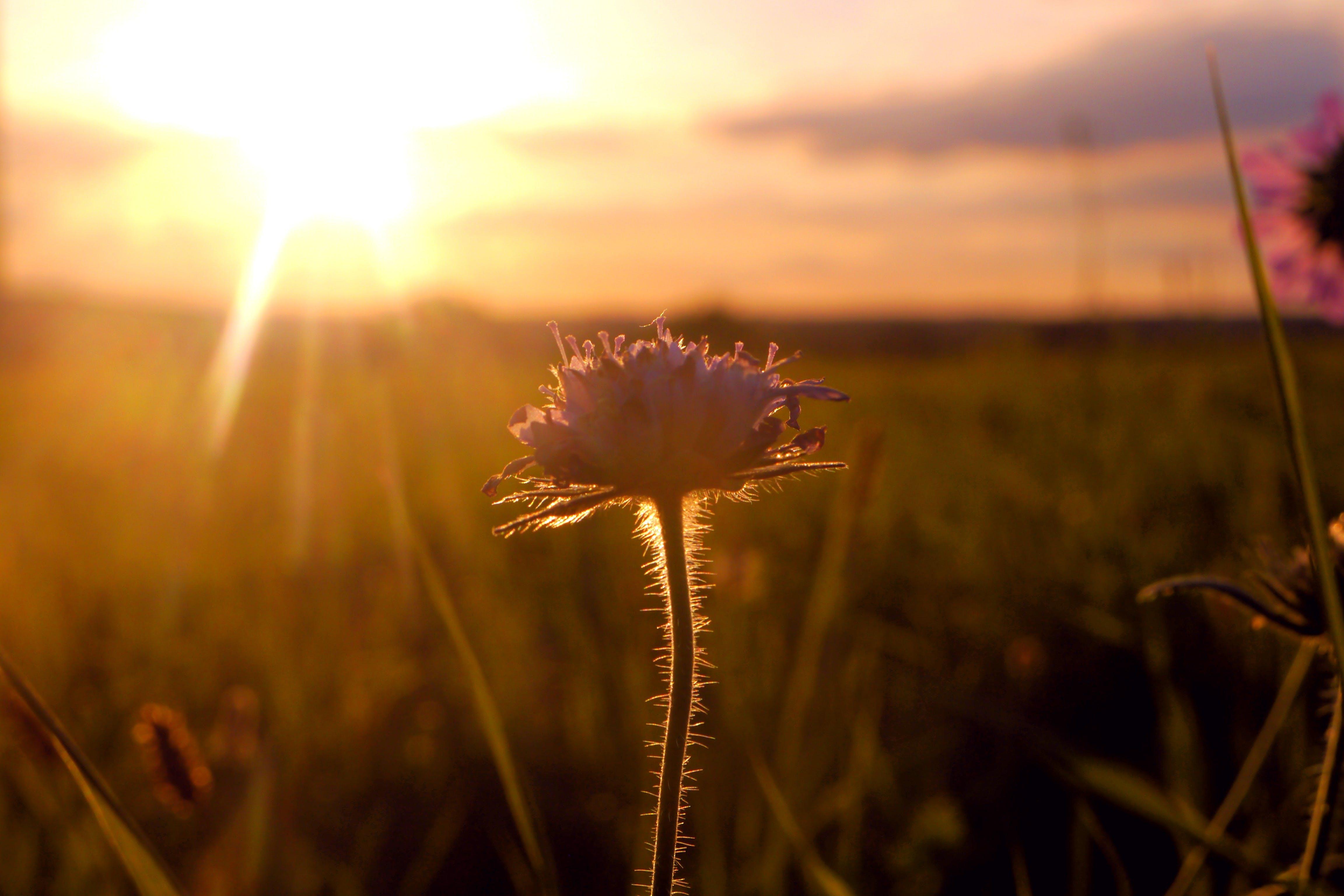Free stock photo of field, flower, golden sun, sunset