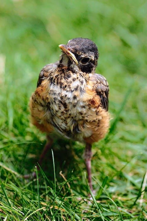 Free stock photo of baby bird, merle