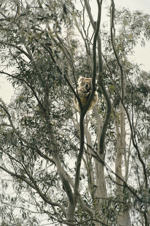 Grey Koala Bear Resting on a Tree