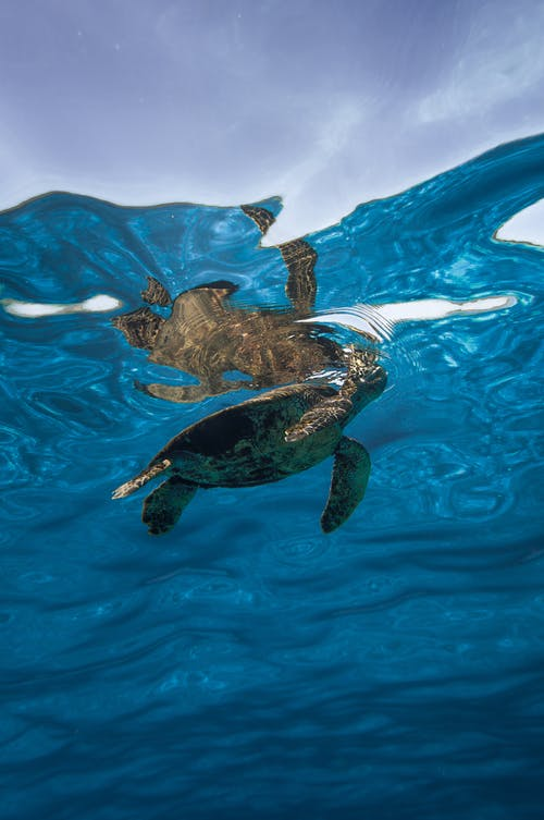 Small turtle swimming in blue seawater