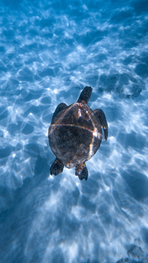 Adorable turtle swimming in blue seawater