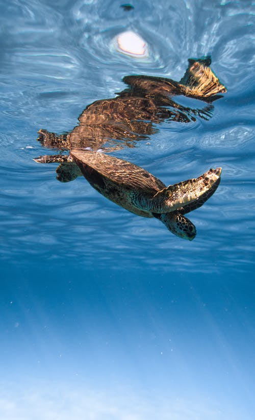 Cute wild sea turtle diving into crystal clean blue sea on sunny weather