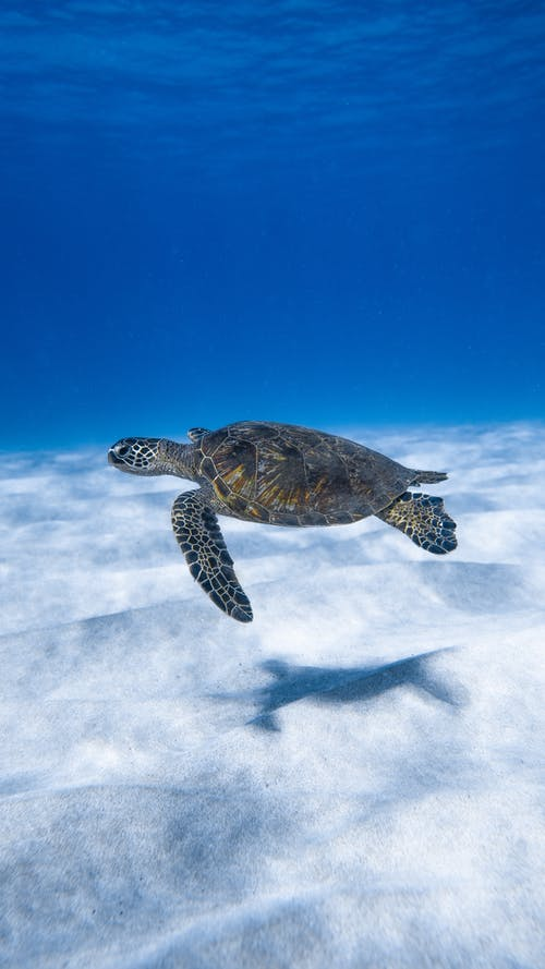 Big aquatic turtle swimming in blue sea