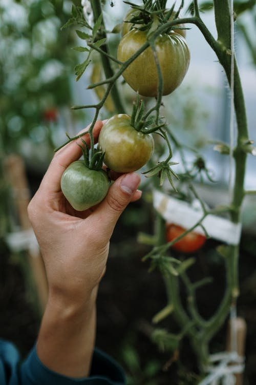 Person Holding A Tomato
