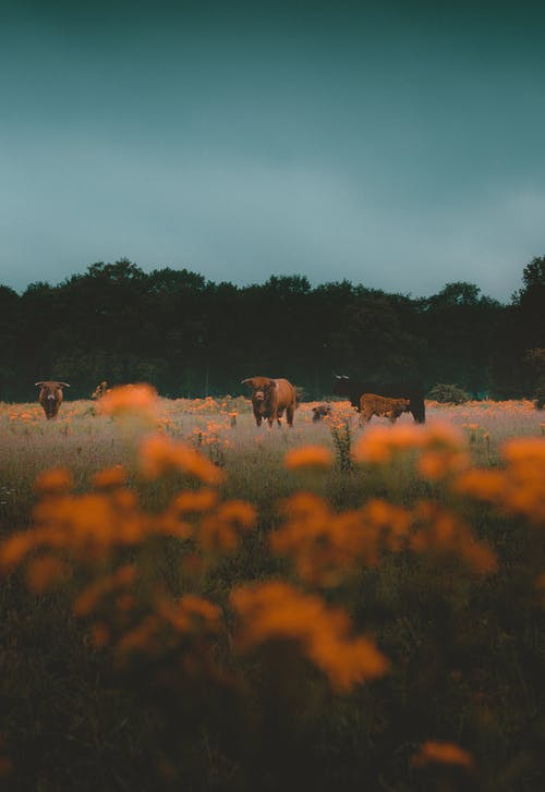 Brown and Black Cows on Brown Grass Field