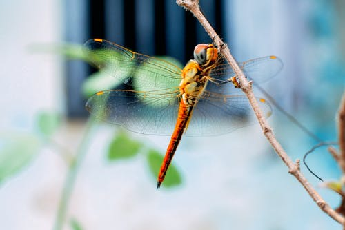 Small thin graceful dragonfly with crystal wings resting on branch of shrub in soft focus