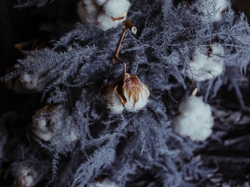 Dry tree branches with cotton flowers