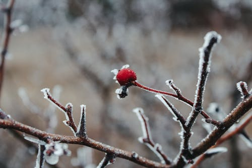 Red cherry on branch covered with frost