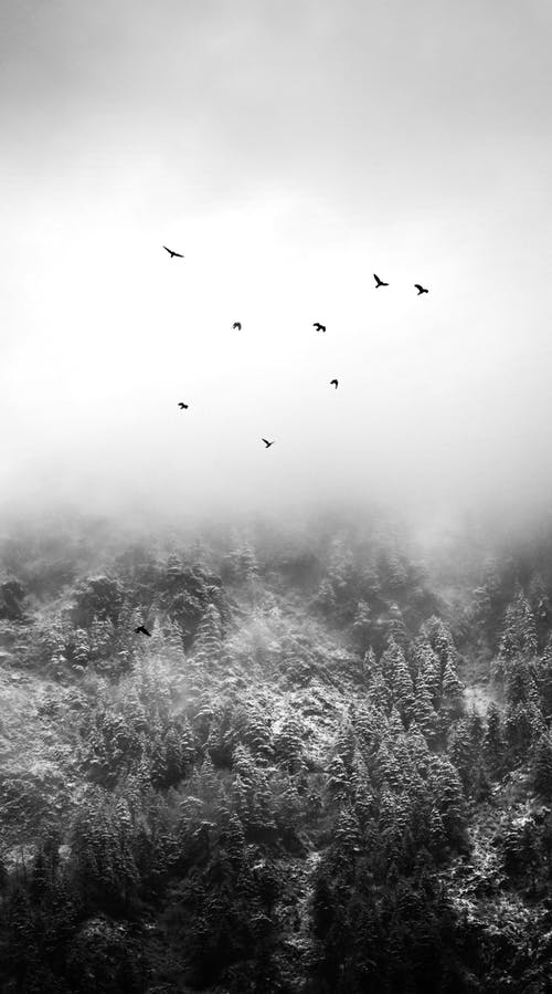 Black and white flock of birds soaring above mystic snowy forested hills in dense fog