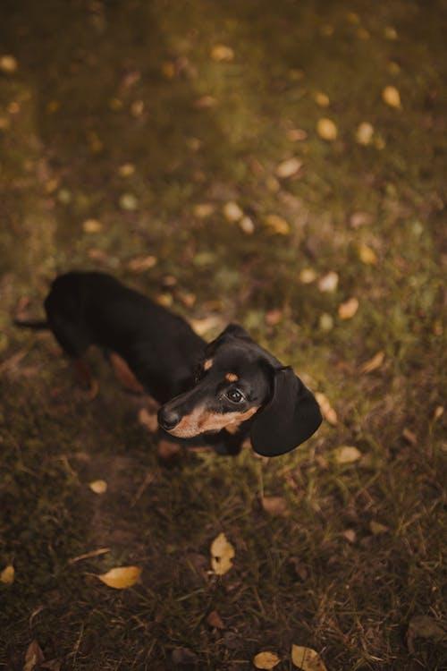 Gratis arkivbilde med årstid, bedårende, bod, dachshund