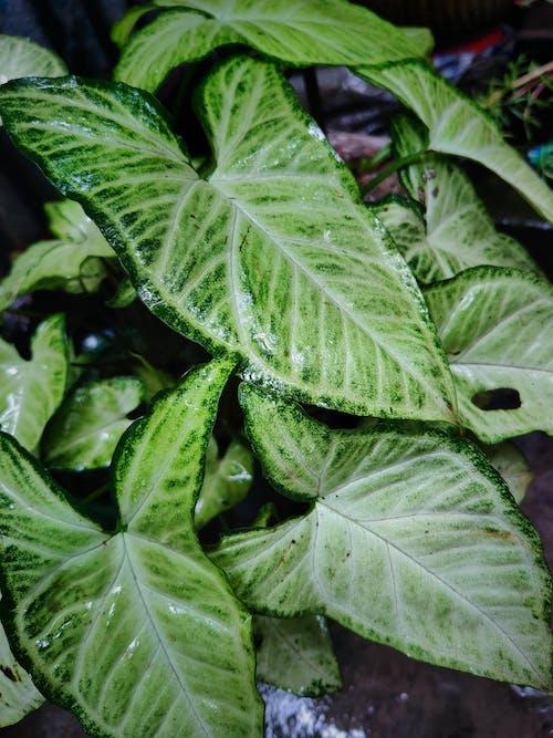 Kostenloses Stock Foto zu colocasia esculenta, essbare wurzel, grüner baum