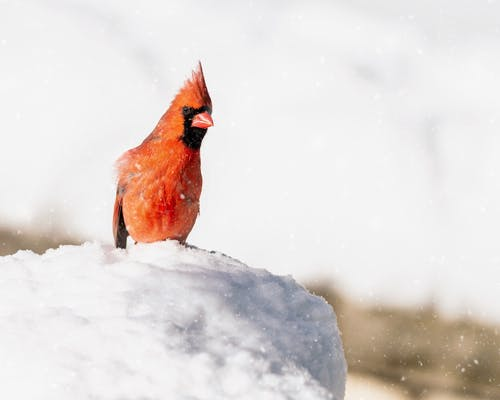 Attentive common cardinal sitting on snowy valley