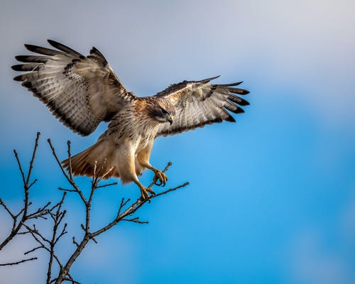 Full body majestic hawk sitting on leafless tree branch and spreading wings against blue sky