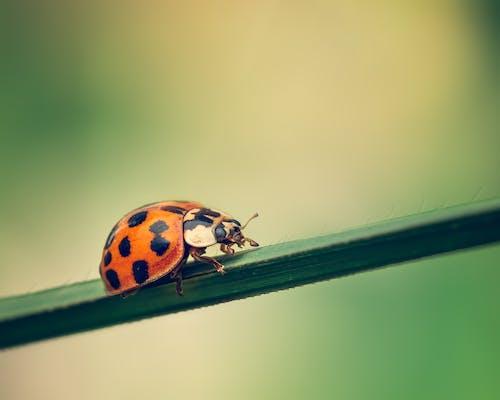 Ladybug crawling on thin plant leaf
